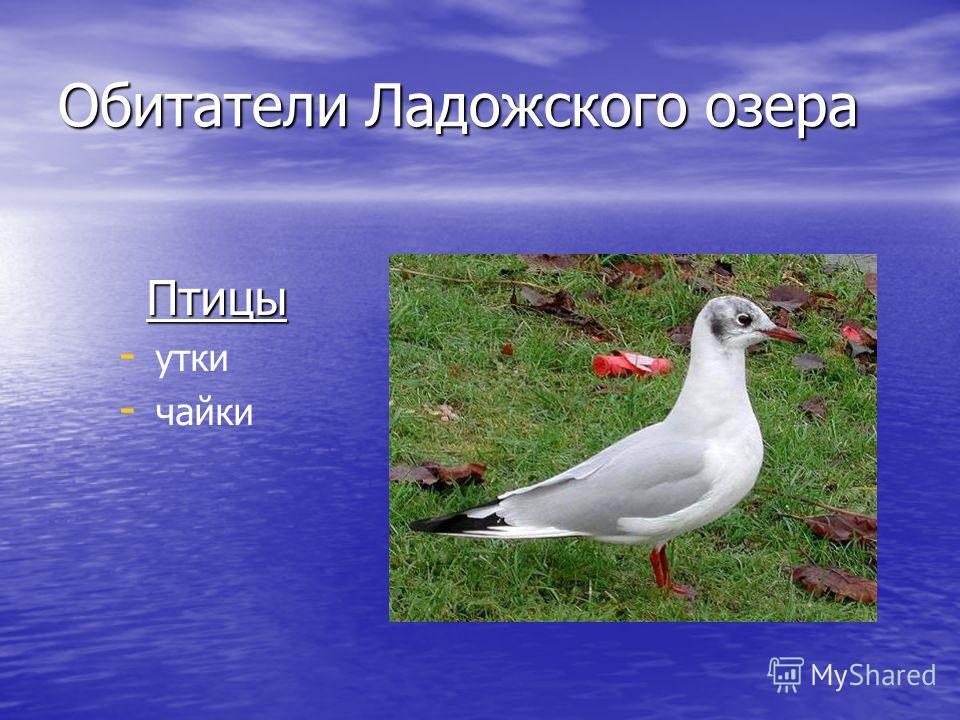 Обитатели Ладожского озера Птицы Птицы - - утки - - чайки