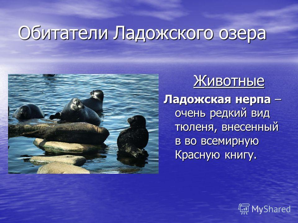 Обитатели Ладожского озера Животные Ладожская нерпа – очень редкий вид тюленя, внесенный в во всемирную Красную книгу.