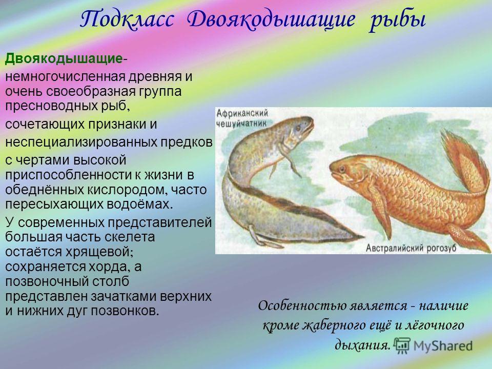 Двоякодышащие - немногочисленная древняя и очень своеобразная группа пресноводных рыб, сочетающих признаки и неспециализированных предков с чертами высокой приспособленности к жизни в обеднённых кислородом, часто пересыхающих водоёмах. У современных