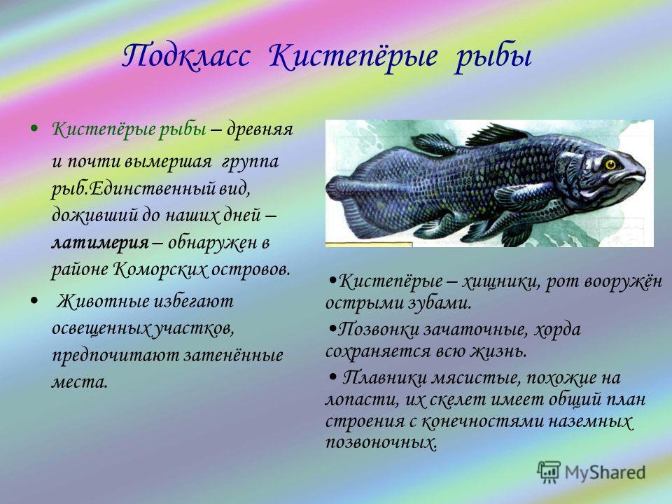 Кистепёрые рыбы – древняя и почти вымершая группа рыб.Единственный вид, доживший до наших дней – латимерия – обнаружен в районе Коморских островов. Животные избегают освещенных участков, предпочитают затенённые места. Подкласс Кистепёрые рыбы Кистепё