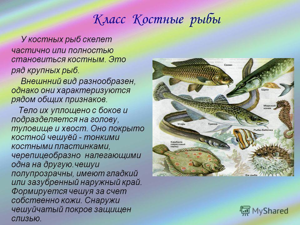 У костных рыб скелет частично или полностью становиться костным. Это ряд крупных рыб. Внешнний вид разнообразен, однако они характеризуются рядом общих признаков. Тело их уплощено с боков и подразделяется на голову, туловище и хвост. Оно покрыто кост