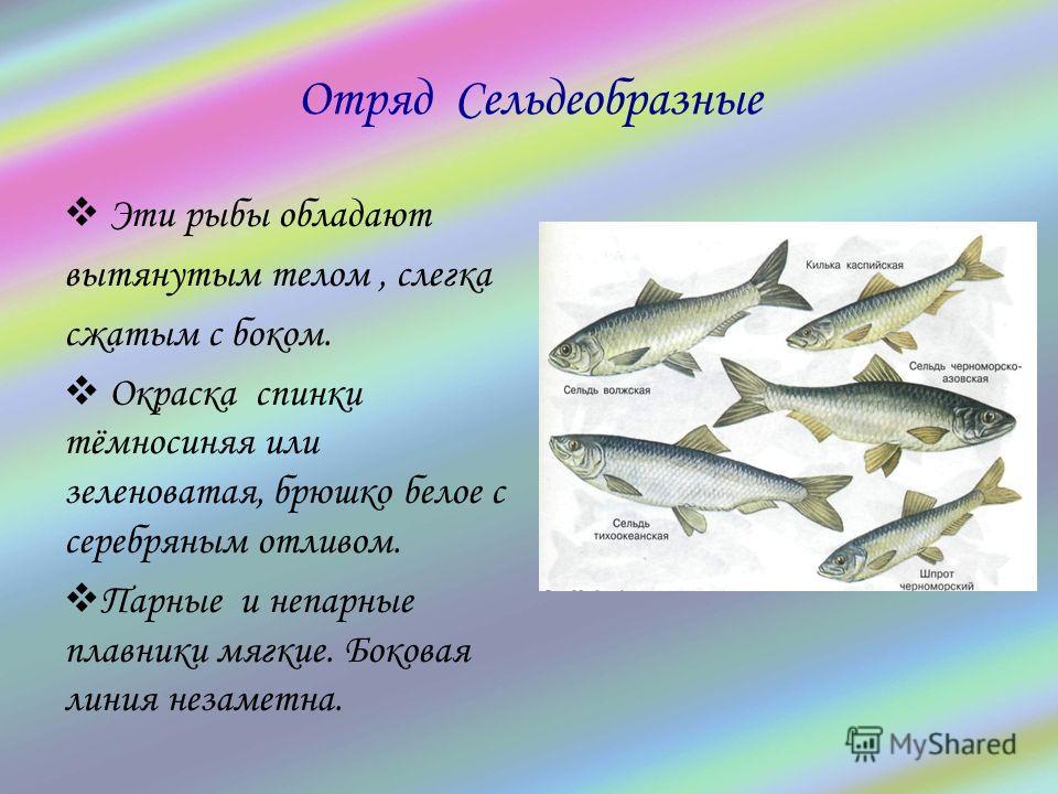Отряд Сельдеобразные Эти рыбы обладают вытянутым телом, слегка сжатым с боком. Окраска спинки тёмносиняя или зеленоватая, брюшко белое с серебряным отливом. Парные и непарные плавники мягкие. Боковая линия незаметна.
