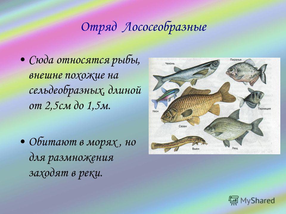 Отряд Лососеобразные Сюда относятся рыбы, внешне похожие на сельдеобразных, длиной от 2,5см до 1,5м. Обитают в морях, но для размножения заходят в реки.