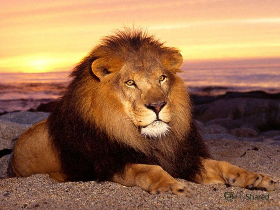 Царь зверей раскатисто рычит, Всех зверей собрать спешит, На камень грациозно сев, Скажите, кто же это …