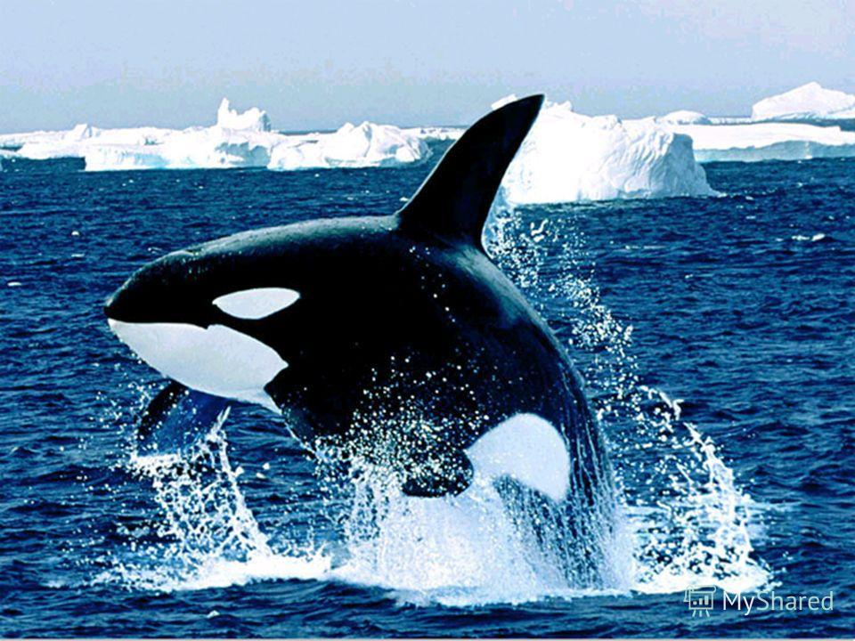 Да такому Великану Океан пришёлся с ванну Океаны бороздит Чудо-юдо синий…