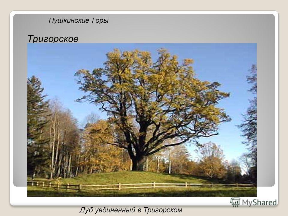 Пушкинские Горы Тригорское Дуб уединенный в Тригорском