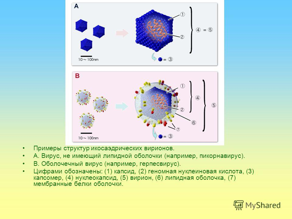Структура Вирусные частицы (вирио́ны) представляют собой белковую капсулу капсид, содержащую геном вируса, представленный одной или несколькими молекулами ДНК или РНК. Капсид построен из капсомеров белковых комплексов, состоящих в свою очередь из про