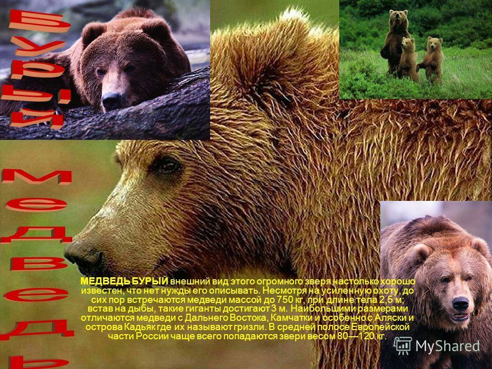 МЕДВЕДЬ БУРЫЙ внешний вид этого огромного зверя настолько хорошо известен, что нет нужды его описывать. Несмотря на усиленную охоту, до сих пор встречаются медведи массой до 750 кг, при длине тела 2,5 м; встав на дыбы, такие гиганты достигают 3 м. На