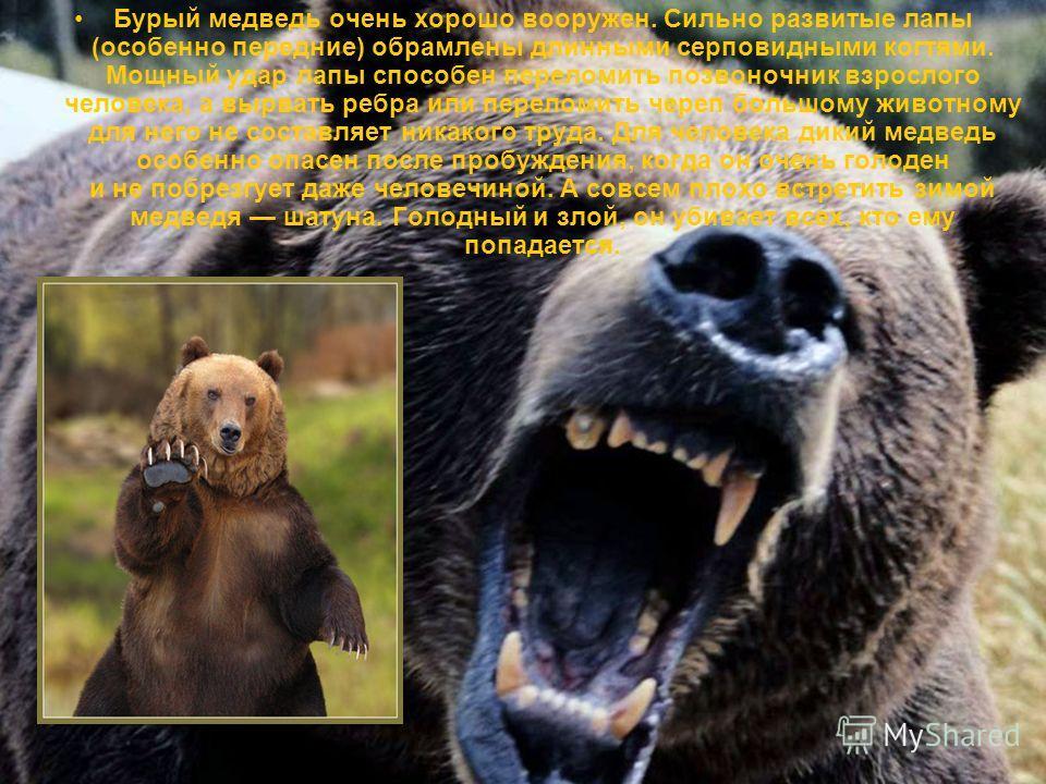 Бурый медведь очень хорошо вооружен. Сильно развитые лапы (особенно передние) обрамлены длинными серповидными когтями. Мощный удар лапы способен переломить позвоночник взрослого человека, а вырвать ребра или переломить череп большому животному для не
