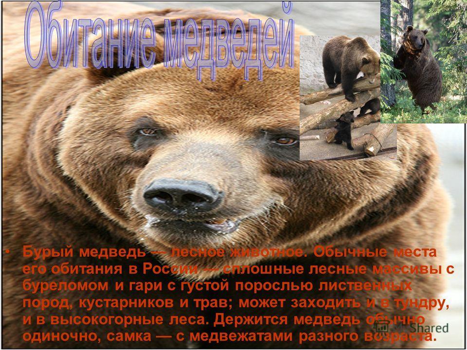 Бурый медведь лесное животное. Обычные места его обитания в России сплошные лесные массивы с буреломом и гари с густой порослью лиственных пород, кустарников и трав; может заходить и в тундру, и в высокогорные леса. Держится медведь обычно одиночно,