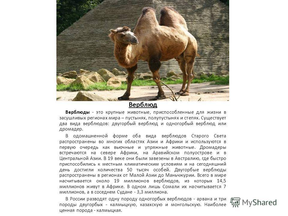 Верблюд Верблюды - это крупные животные, приспособленные для жизни в засушливых регионах мира – пустынях, полупустынях и степях. Существует два вида верблюдов: двугорбый верблюд и одногорбый верблюд или дромадер. В одомашненной форме оба вида верблюд