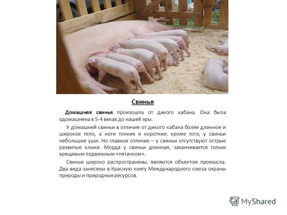 Свинья Домашняя свинья произошла от дикого кабана. Она была одомашнена в 5-4 веках до нашей эры. У домашней свиньи в отличие от дикого кабана более длинное и широкое тело, а ноги тонкие и короткие; кроме того, у свиньи небольшие уши. Но главное отлич