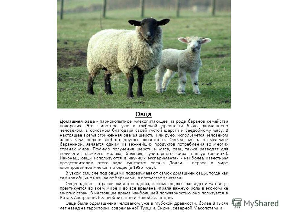 Овца Домашняя овца - парнокопытное млекопитающее из рода баранов семейства полорогих. Это животное уже в глубокой древности было одомашнено человеком, в основном благодаря своей густой шерсти и съедобному мясу. В настоящее время стриженная овечья шер