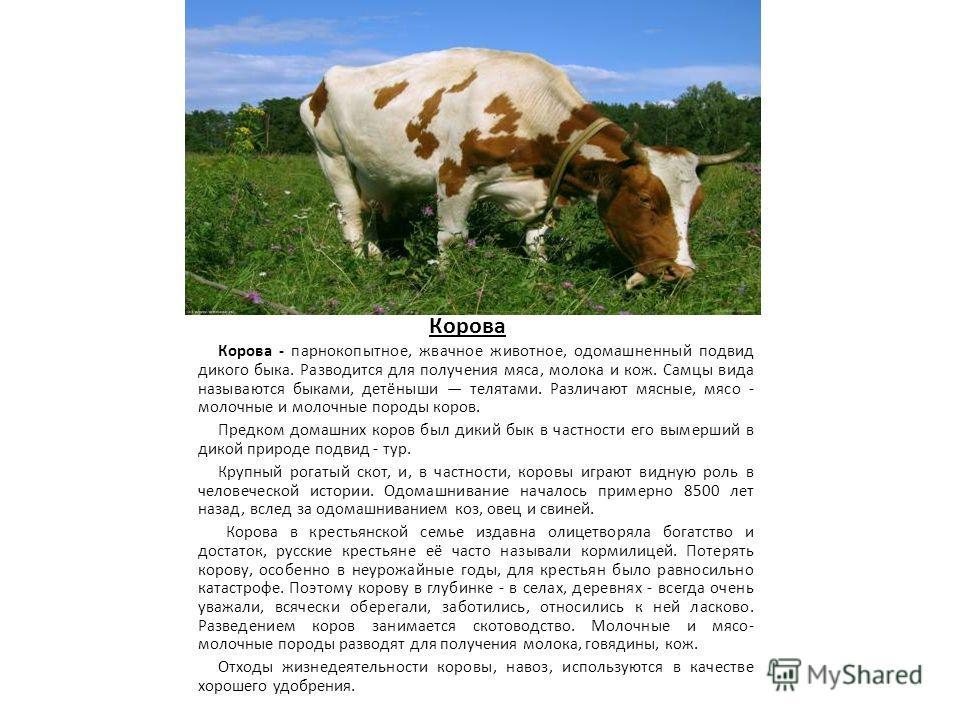 Корова Корова - парнокопытное, жвачное животное, одомашненный подвид дикого быка. Разводится для получения мяса, молока и кож. Самцы вида называются быками, детёныши телятами. Различают мясные, мясо - молочные и молочные породы коров. Предком домашни