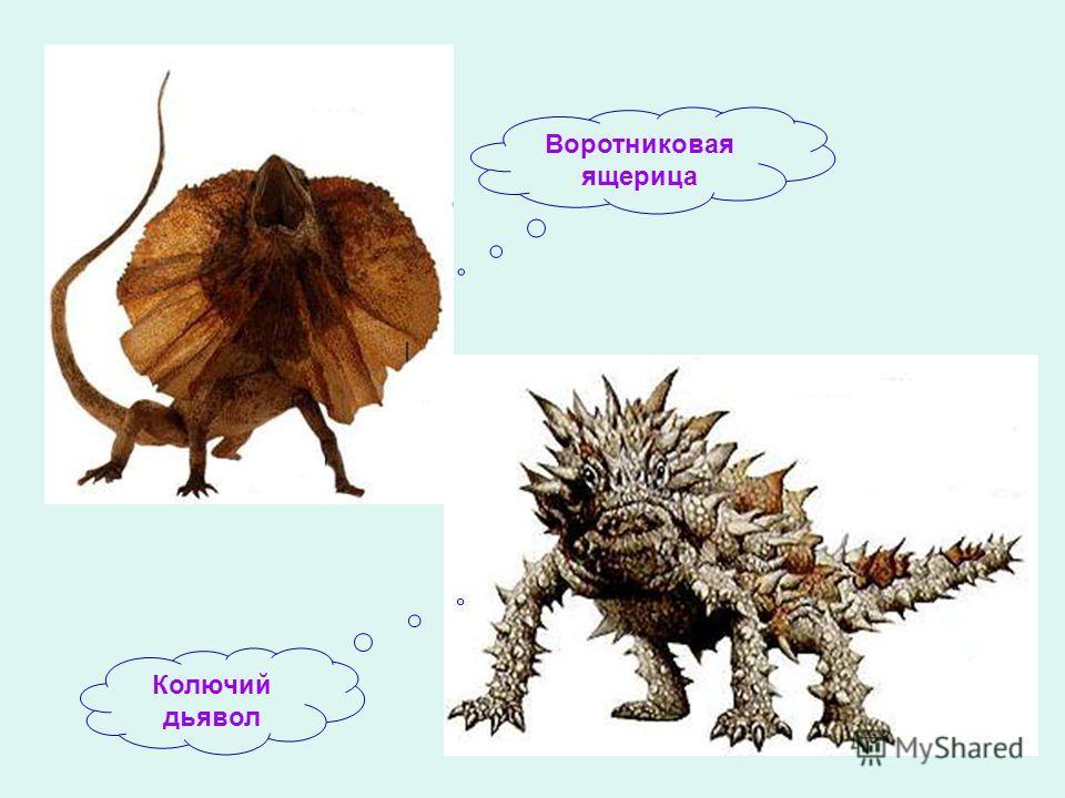 Воротниковая ящерица Колючий дьявол