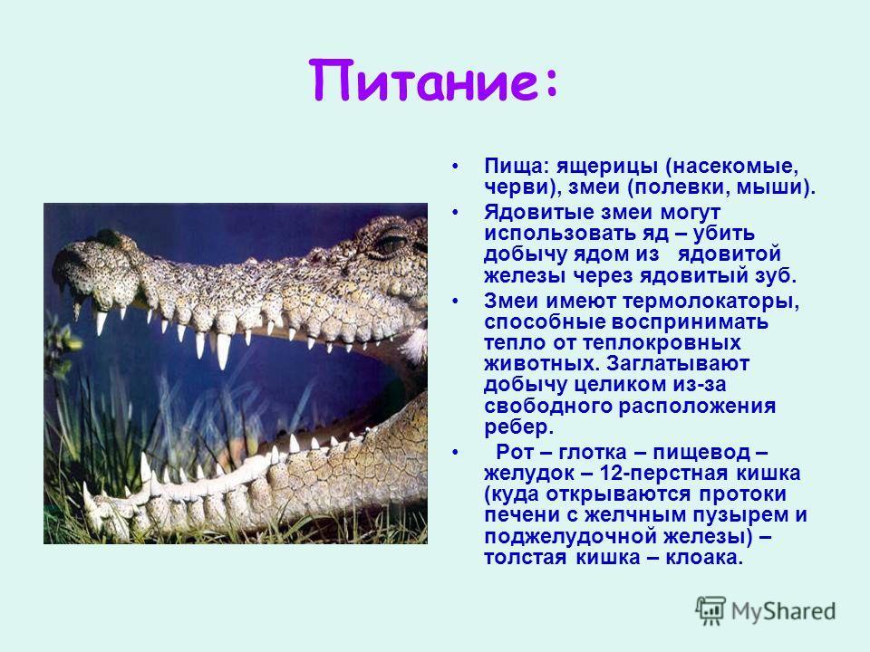 Питание: Пища: ящерицы (насекомые, черви), змеи (полевки, мыши). Ядовитые змеи могут использовать яд – убить добычу ядом из ядовитой железы через ядовитый зуб. Змеи имеют термолокаторы, способные воспринимать тепло от теплокровных животных. Заглатыва