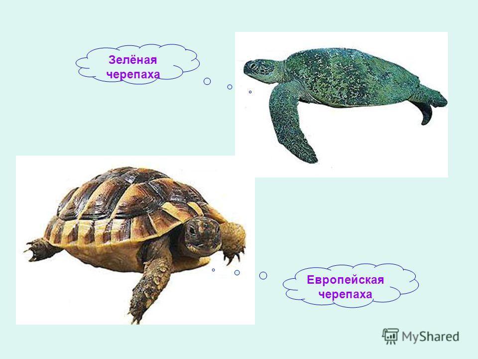 Зелёная черепаха Европейская черепаха