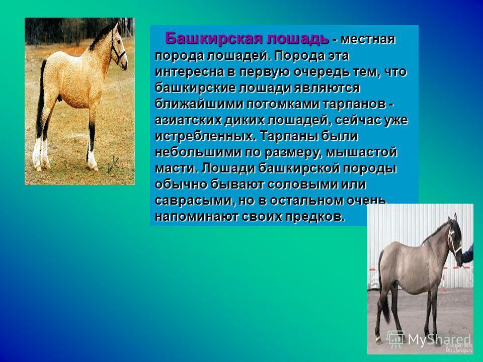 Башкирская лошадь - местная порода лошадей. Порода эта интересна в первую очередь тем, что башкирские лошади являются ближайшими потомками тарпанов - азиатских диких лошадей, сейчас уже истребленных. Тарпаны были небольшими по размеру, мышастой масти