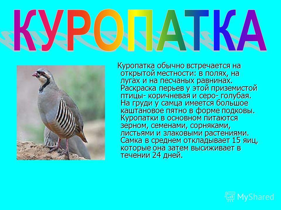 Куропатка обычно встречается на открытой местности: в полях, на лугах и на песчаных равнинах. Раскраска перьев у этой приземистой птицы- коричневая и серо- голубая. На груди у самца имеется большое каштановое пятно в форме подковы. Куропатки в основн