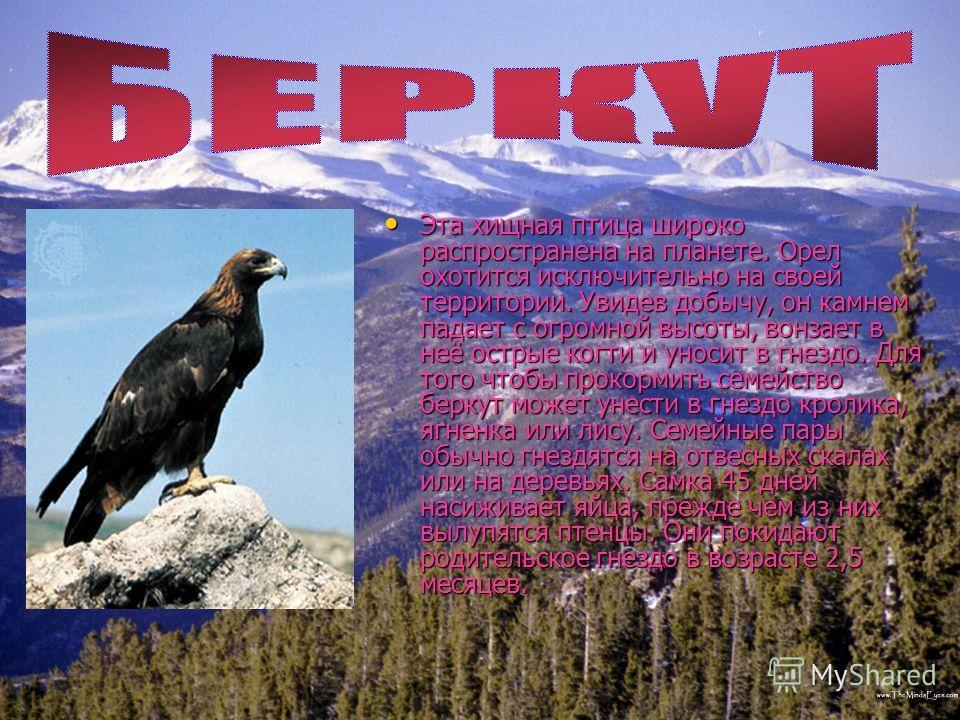 Эта хищная птица широко распространена на планете. Орел охотится исключительно на своей территории. Увидев добычу, он камнем падает с огромной высоты, вонзает в неё острые когти и уносит в гнездо. Для того чтобы прокормить семейство беркут может унес