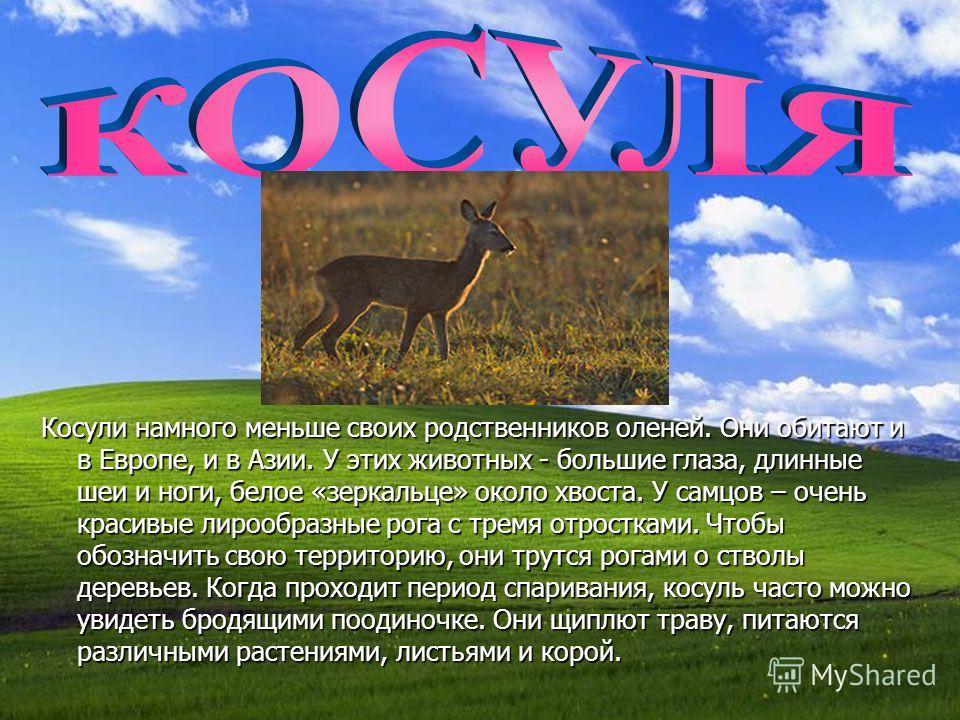 Косули намного меньше своих родственников оленей. Они обитают и в Европе, и в Азии. У этих животных - большие глаза, длинные шеи и ноги, белое «зеркальце» около хвоста. У самцов – очень красивые лирообразные рога с тремя отростками. Чтобы обозначить