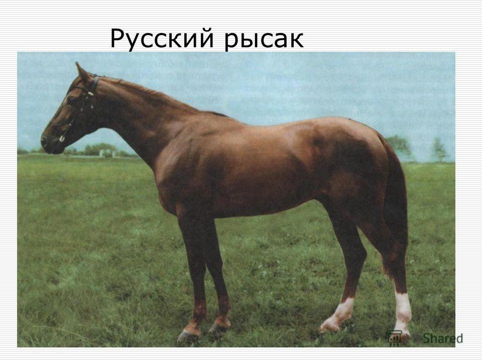 Русский рысак