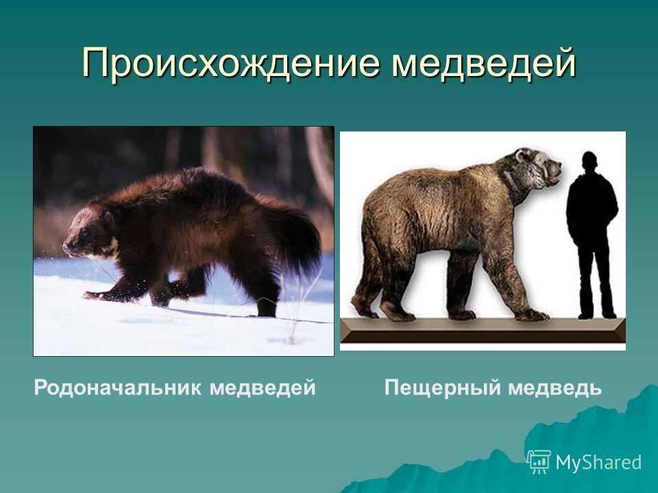 Происхождение медведей Родоначальник медведейПещерный медведь
