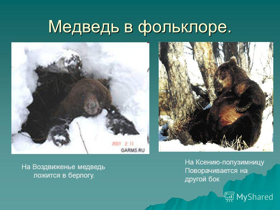 Медведь в фольклоре. На Воздвиженье медведь ложится в берлогу. На Ксению-полузимницу Поворачивается на другой бок