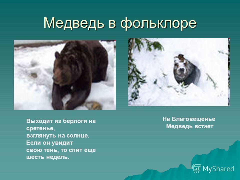 Медведь в фольклоре На Благовещенье Медведь встает Выходит из берлоги на сретенье, взглянуть на солнце. Если он увидит свою тень, то спит еще шесть недель.