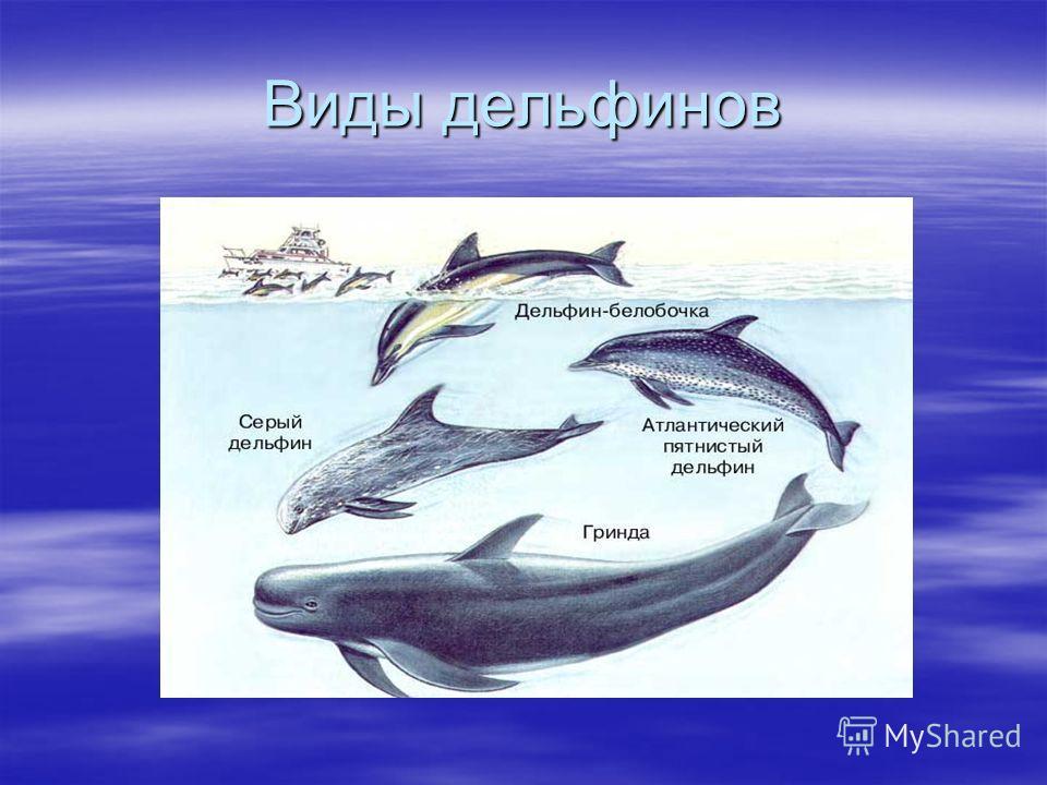 Виды дельфинов