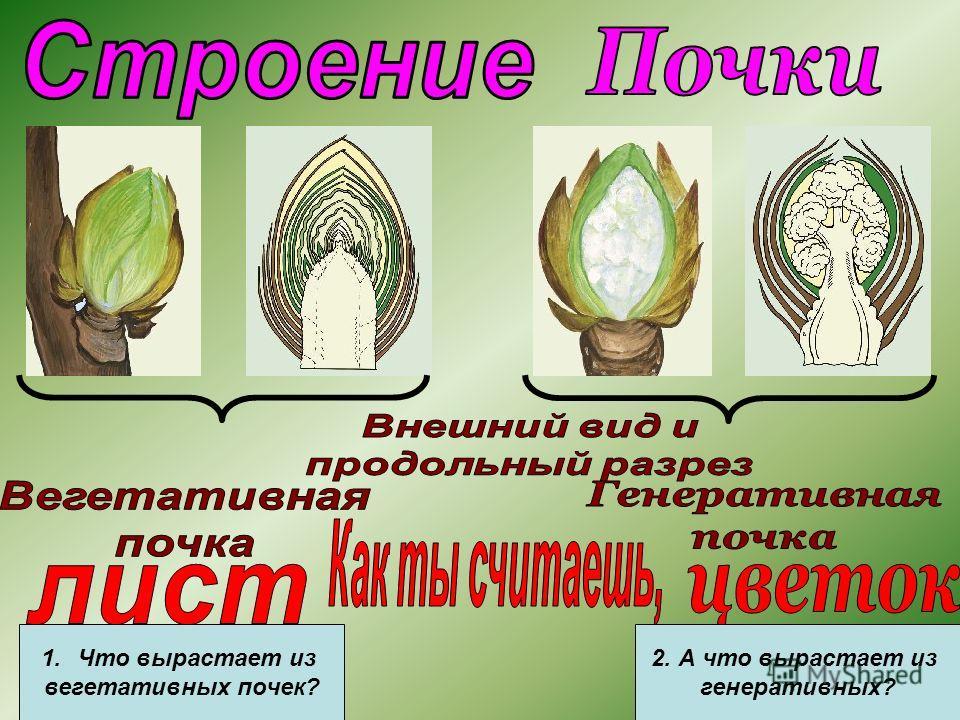 1.Что вырастает из вегетативных почек? 2. А что вырастает из генеративных?