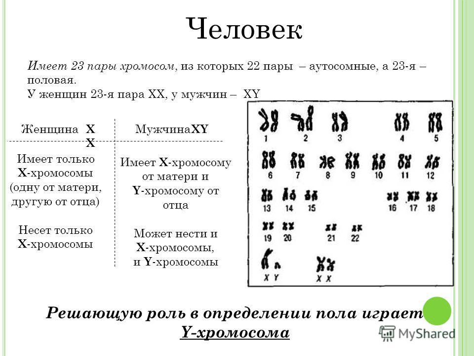 Имеет 23 пары хромосом, из которых 22 пары – аутосомные, а 23-я – половая. У женщин 23-я пара ХХ, у мужчин – ХY Решающую роль в определении пола играет Y-хромосома Человек ЖенщинаМужчина Имеет только X -хромосомы (одну от матери, другую от отца) Несе