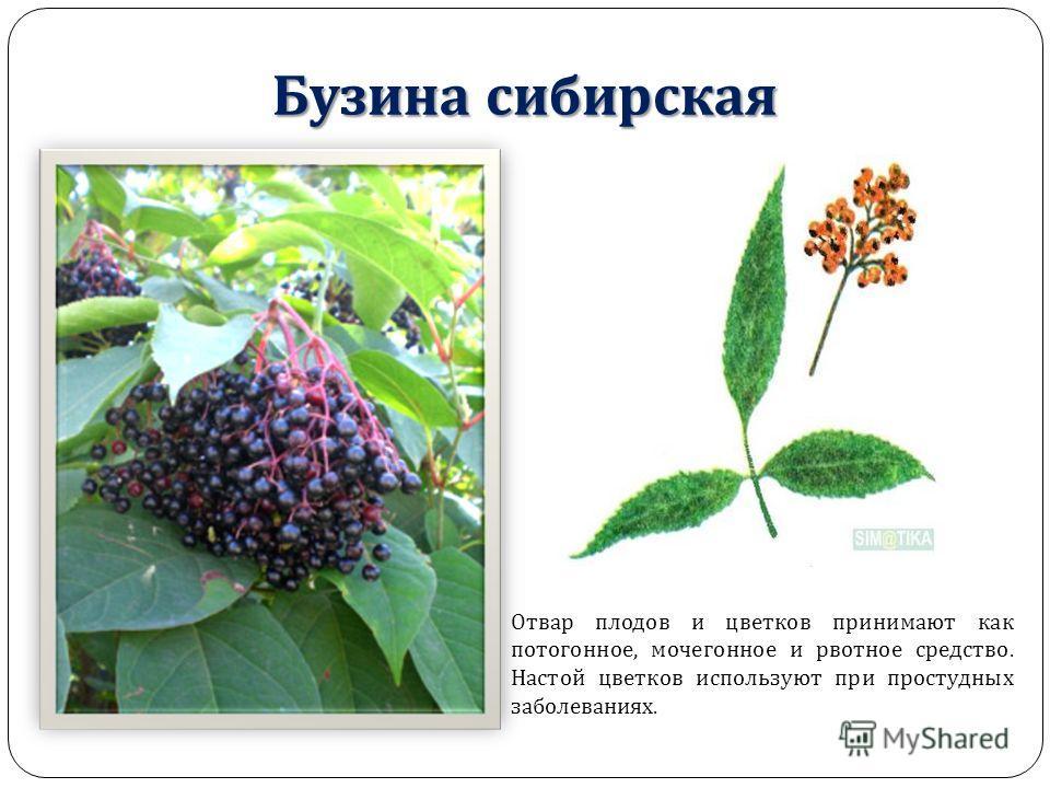 Бузина сибирская Отвар плодов и цветков принимают как потогонное, мочегонное и рвотное средство. Настой цветков используют при простудных заболеваниях.
