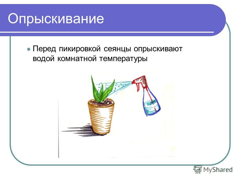 Опрыскивание Перед пикировкой сеянцы опрыскивают водой комнатной температуры