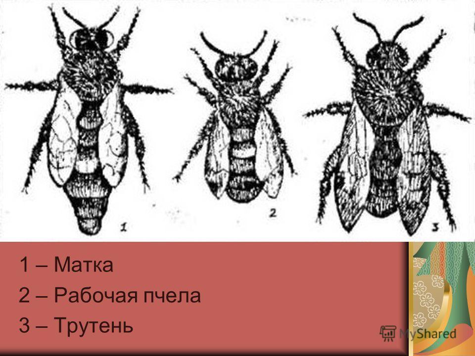 1 – Матка 2 – Рабочая пчела 3 – Трутень