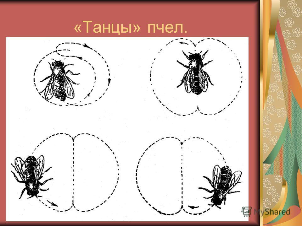 «Танцы» пчел.