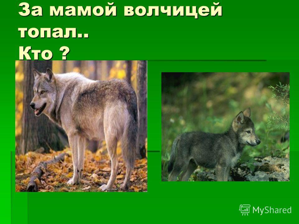 За мамой волчицей топал.. Кто ?