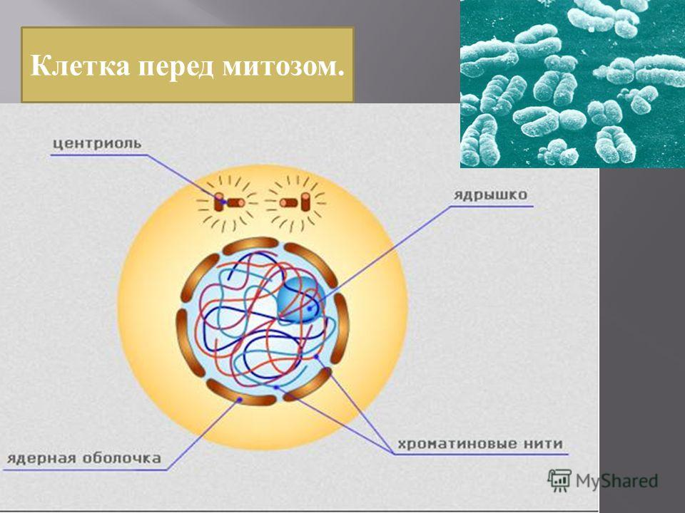 Клетка перед митозом.