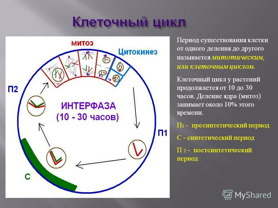 Клеточный цикл Период существования клетки от одного деления до другого называется митотическим, или клеточным циклом. Клеточный цикл у растений продолжается от 10 до 30 часов. Деление ядра (митоз) занимает около 10% этого времени. П 1 - пресинтетиче