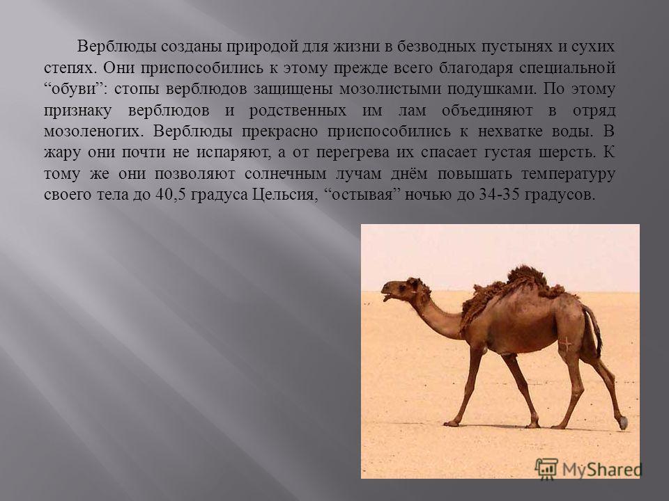 Верблюды созданы природой для жизни в безводных пустынях и сухих степях. Они приспособились к этому прежде всего благодаря специальной обуви : стопы верблюдов защищены мозолистыми подушками. По этому признаку верблюдов и родственных им лам объединяют