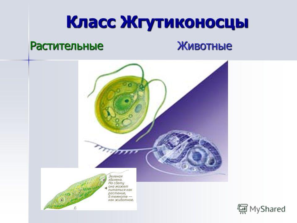 Класс Жгутиконосцы РастительныеЖивотные