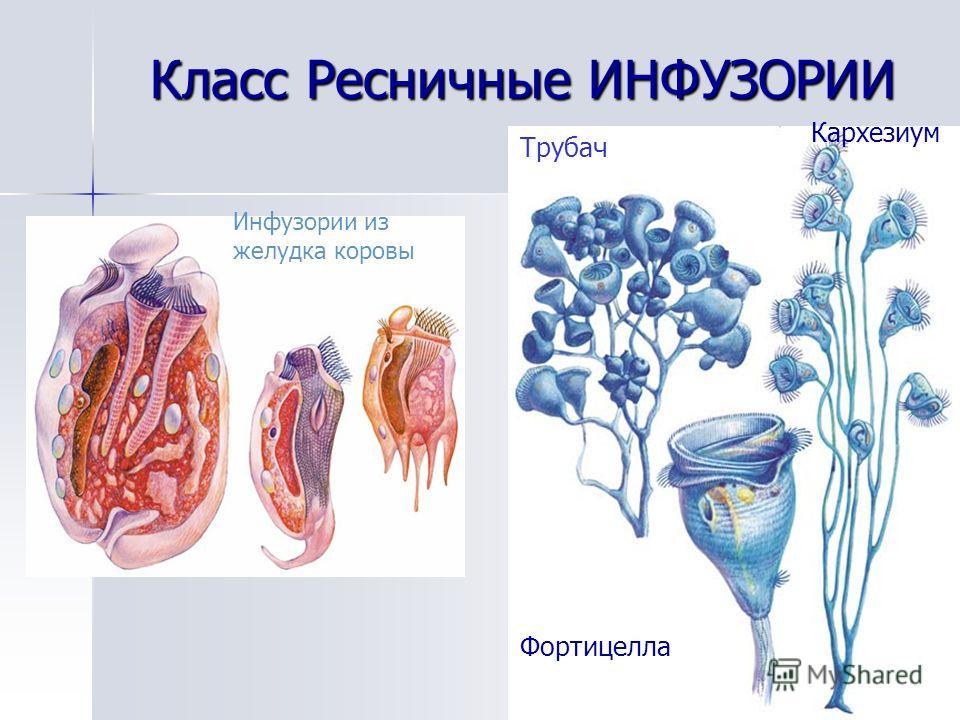 Класс Ресничные ИНФУЗОРИИ Инфузории из желудка коровы Кархезиум Фортицелла Трубач