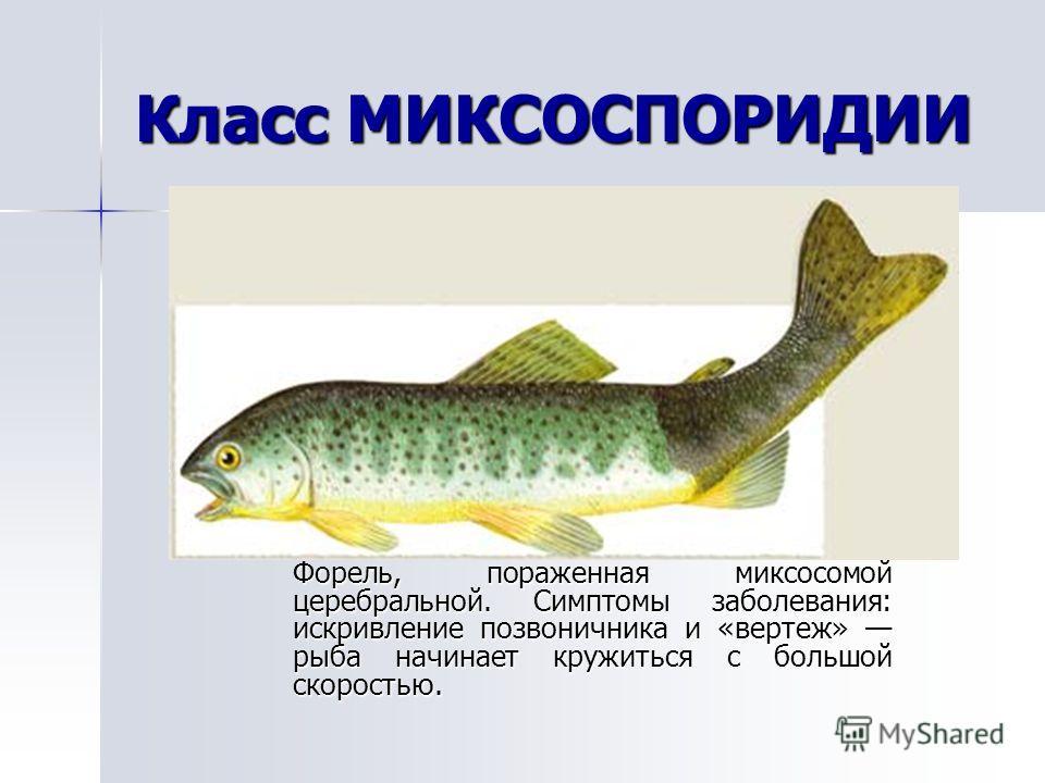 Класс МИКСОСПОРИДИИ Форель, пораженная миксосомой церебральной. Симптомы заболевания: искривление позвоничника и «вертеж» рыба начинает кружиться с большой скоростью.