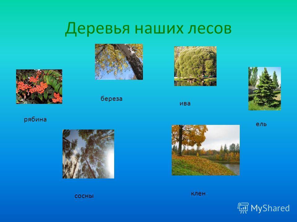 Деревья наших лесов рябина береза ива ель сосны клен