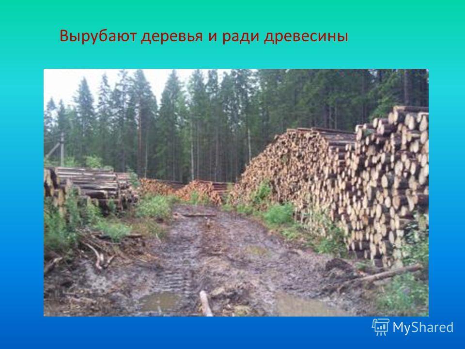 Вырубают деревья и ради древесины