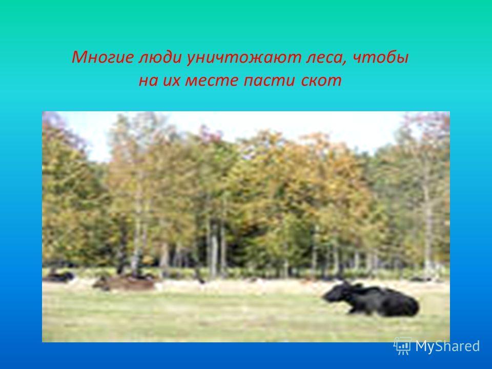 Многие люди уничтожают леса, чтобы на их месте пасти скот