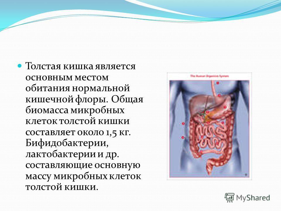 Толстая кишка является основным местом обитания нормальной кишечной флоры. Общая биомасса микробных клеток толстой кишки составляет около 1,5 кг. Бифидобактерии, лактобактерии и др. составляющие основную массу микробных клеток толстой кишки.