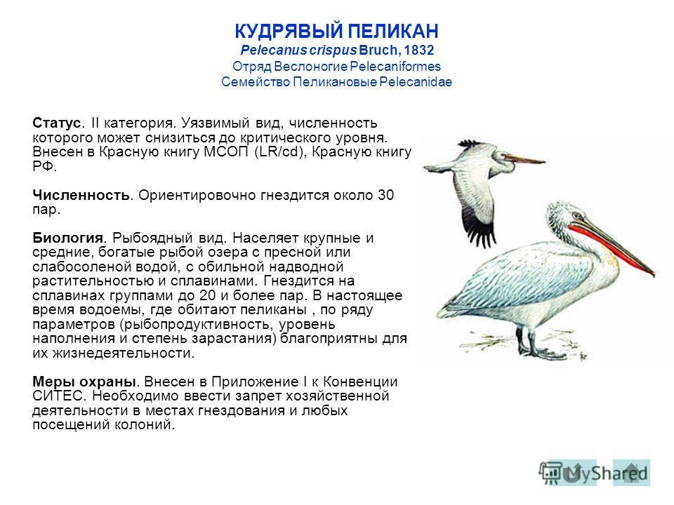 КУДРЯВЫЙ ПЕЛИКАН Pelecanus crispus Bruch, 1832 Отряд Веслоногие Pelecaniformes Семейство Пеликановые Pelecanidae Статус. II категория. Уязвимый вид, численность которого может снизиться до критического уровня. Внесен в Красную книгу МСОП (LR/cd), Кра