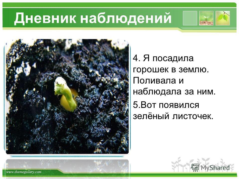 www.themegallery.com Дневник наблюдений 4. Я посадила горошек в землю. Поливала и наблюдала за ним. 5.Вот появился зелёный листочек.