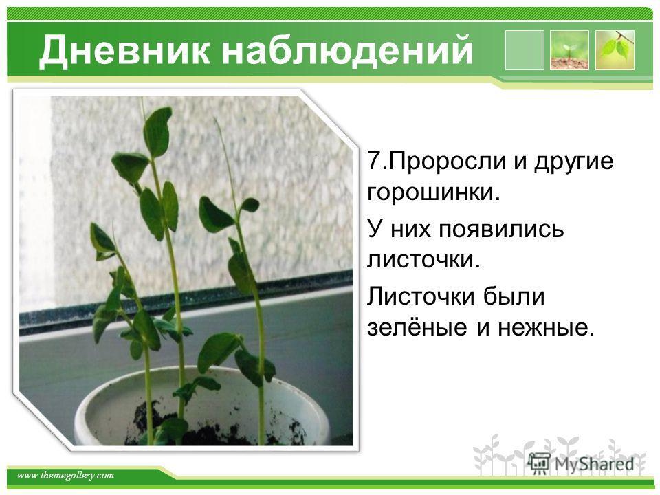 www.themegallery.com Дневник наблюдений 7.Проросли и другие горошинки. У них появились листочки. Листочки были зелёные и нежные.